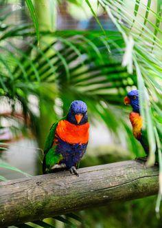 Parrots. Jardin Botanique de Deshaies. Basse Terre, Guadeloupe. www.IslandRunaways.com a travel blog