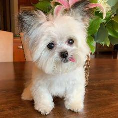 Baby Animals Super Cute, Cute Little Animals, Cute Funny Animals, Funny Dogs, Cute Little Dogs, Cute Teacup Puppies, Cute Baby Puppies, Teacup Chihuahua, Baby Yorkie