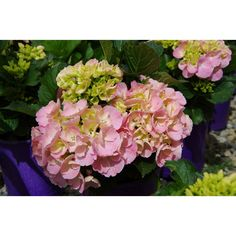 Hydrangea Tea Time TM Pink Sensation is a naturally neat compact shrub with a well branched structure and strong stems. Mop heads of delicate pink flowers grow in medium clusters at the end of the branches during summer and look fantastic against the stro Types Of Flowers, Types Of Plants, Colorful Flowers, Pink Flowers, Egg Shape, Growing Flowers, Hedges, Shrubs, Perennials
