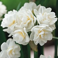Narcissus Hybrids Erlicheer has highly fragrant clusters of cream blooms. Jonquils are one of the first spring bulbs to flower, often from late winter. Jonquils have a strong fragrance, are ideal in pots and as cut flowers. Perform well in warmer climates. Supplied as dormant bulbs.