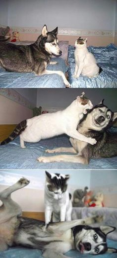 Funny animals. No mess with the cat,  Mr. Husky! This would so be Gideon and Wesley!