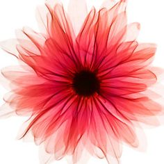 mydivine—cloudnumber9: X-ray of a red gerbera.
