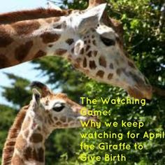 The Watching Game: Why we keep watching for April the Giraffe to give birth #ApriltheGiraffe - Life of a Busy Mommy
