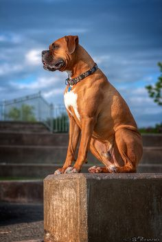 Cesar, the #Boxer | Flickr - Photo Sharing!