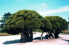 Topiary Trees by sarcoptiform, via Flickr