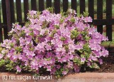 azalia 'Ledikanense' - Rhododendron 'Ledikanense' czeska odmiana azalii japońskiej - najbardziej mrozoodporna