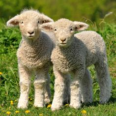 """Click here to create your  """"two cute fluffy lambs"""" e-card."""