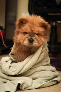 This swaddled sweetie. | 31 Chow Chow Puppies To Make Your Day A Little Fuzzier