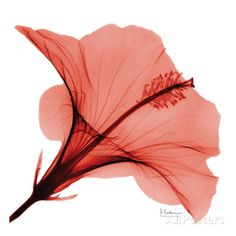 Close Up of Red Beauty II Affiche par Albert Koetsier sur AllPosters.fr