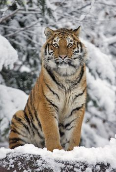 beauty by Daniel Münger on ~ Gorgeous Amur Tiger, commonly called a Siberian Tiger. There are fewer than 450 of these tigers in the wild ~ Big Cats, Cats And Kittens, Cute Cats, Tiger Pictures, Animal Pictures, Nature Animals, Animals And Pets, Wild Animals, Beautiful Cats