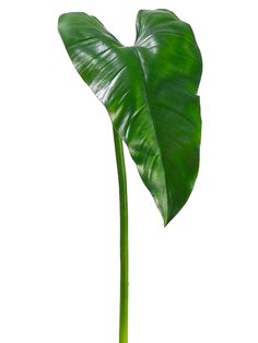 """30"""" Calla Lily Leaf in Green.   Great for an exaggerated base leaf to angle off at 4 o'clock from an arrangement.  These leaves when large like this are often wind torn in nature so I will take scissors and cut a few notches into the edge of them to look authentic."""