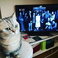 今週の #べっぴんさん (朝ドラ)良すぎてほんと泣いた。わたしも、いつも見守ってくれて応援してくれて味方でいてくれる両親には一生感謝だなぁ。。 あずきも記念写真に混ぜてあげた。 #愛猫 #あずき #ねこ #ぬこ #ねこ部 #マンチカン #ペルシャ #catsofinstagram #cat #catstagram #kitten #kitty #catoftheday #ilovemycat #instagramcats #lovecats #lovekittens #catlover #instacat #munchkin #persian #냥스타그램 #고양이