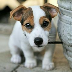 The cutest Jack puppy Baby Puppies, Cute Puppies, Cute Dogs, Dogs And Puppies, Maltese Puppies, Terrier Puppies, Doggies, Jack Russell Puppies, Jack Russell Terriers