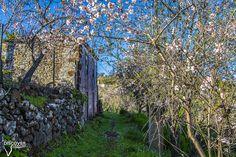 Almendros en Flor en Puntagorda.