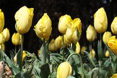 Tulipanes en los jardines de Plantamus