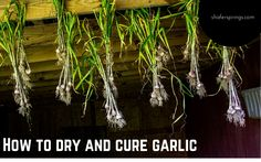 How to Dry and Cure Garlic - learn how to properly dry and cure garlic you grow in quick and easy steps Herb Gardening, Garlic, The Cure, Herbs, Learning, Easy, Herb, Teaching, Education