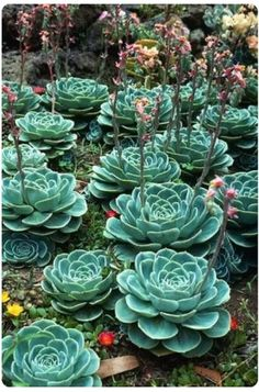 I have one of these succulents correctly and it is beautiful. This photo with many of them is gorgeous! In the next house we buy, I plan to have less grass and more succulents. Succulent Gardening, Cacti And Succulents, Planting Succulents, Cactus Plants, Planting Flowers, Blooming Succulents, Flowering Succulents, Growing Succulents, Indoor Gardening