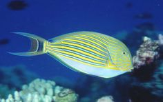 A Striped Surgeonfish(Acanthurus lineatus) at Osprey Reef  Coral Sea photographed by Erik Schlogl on Novembe 1998. Also known as theBlue-lined Surgeonfish, Striped Tang or Zebra Surgeonfish