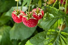 Growing Raspberries