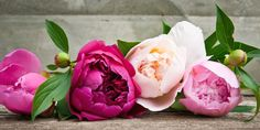 The History of Peonies - Central Square FloristCentral Square Florist