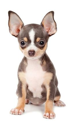 Chihuahua is the smallest among all existing dog breeds.They are also ranked as the longest living dog breeds.Chihuahuas may live up to 20 years or more and therefore are ranked as longest living among all AKC recognized dog breeds. Chihuahua Love, Chihuahua Puppies, Cute Puppies, Cute Dogs, Dogs And Puppies, Chihuahuas, Doggies, Chihuahua Clothes, Animals And Pets