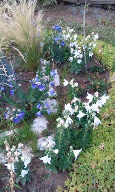 Fehér és kék harangvirág árvalányhajjal.