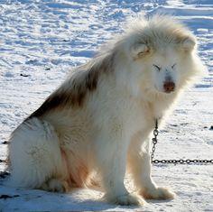 Greenland husky ,beautiful !