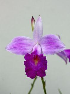 ORQUIDEAS MEXICANAS: Arundina graminifolia - T