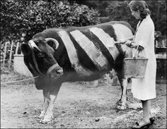 """prev pinner note: Painting a Cow, """"As they were recognised as potential traffic hazards during the Blackouts of World War Two, some farmers took to painting their cows with white stripes so they could be seen by motorists. Photos Du, Old Photos, Vintage Photos, Antique Photos, Cover Photos, Op Art, World History, World War Ii, Ww2 History"""