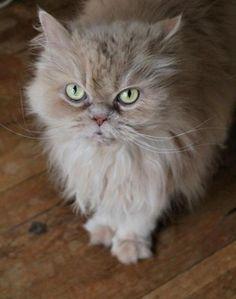 Persian cat... it looks just like my cat!!!!!