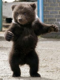 Cute Baby Animals - Grizzly Bear