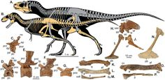 Reconstructions squelettiques de deux Tyrannosaures de l'Utah. A) Lythronax argestes ( UMNH VP 20200) et B) Teratophoneus curriei ( UMNH VP 16690)