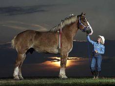 Cheval Worlds Largest Un cheval unique nommé Radar La race du cheval belge, également connu sous le Brabant, est l'une des plus grandes races de chevaux dans le monde aujourd'hui.  Il est une race du cheval de trait et a ses origines en Allemagne.  Les Brabants sont si grandes qu'elles peuvent mesurer jusqu'à 17 mains hautes (ou hh, qui est l'unité de mesure de la taille d'un cheval de la pointe au pied).  Un témoignage de la grande force et la taille de cette race particulière de chevaux…