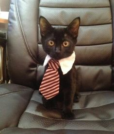 Sharp Dressed Cat (could not resist this adorable little man)