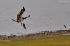 Osprey with tilapia