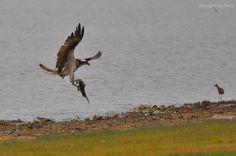 Osprey with tilapia