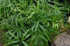 Семейство Спаржевые (Asparagaceae) Аспарагусы, Купены, Ландыши, Иглицы - Аспарагус серповидный