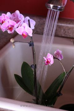 Gardening Flowers How to Water Orchids: Find out properly water your orchids - Orchid Bliss - Knowing when and how to water orchids is the most important key to being a successful orchid grower. Learn how often to water orchids indoors. Orchids In Water, Indoor Orchids, Orchids Garden, Orchid Plants, Garden Plants, Indoor Plants, Orchid Seeds, Orchid Flowers, Indoor Orchid Care