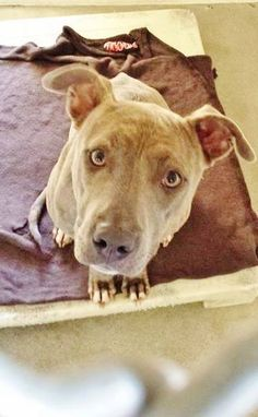 Sweet KATRINA is just a year old and she looks like she has been hungry for awhile. Please take a look at this lady with beautiful energy and SHARE, she is very special and doesn't have much time. Thanks!  #A4791953 I'm an approximately 1 year old female pit bull. I am not yet spayed.  https://www.facebook.com/171850219654287/photos/pb.171850219654287.-2207520000.1421415435./359703594202281/?type=3&theater