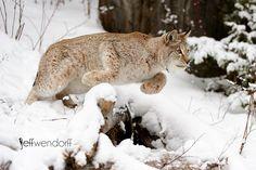 Canada Lynx -Lynx canadensis