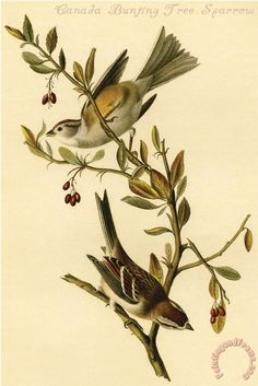 John James Audubon Canada Bunting Tree Sparrow painting - Canada Bunting Tree Sparrow print for sale