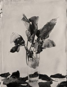 Organics 18x24 cm Ambrotype on Clear Glass November 2013 © Ana Tornel,  #WetPlate #Collodion #Ambrotype #StillLife #BlackandWhite #Vintage #LargeFormat
