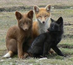 Fox kits with partial melanism (brown), leucistic (the lighter, middle one), and melanistic (darker) traits