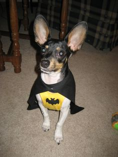 Did someone cry for help?!  Batdog!  Chihuahua / Rat Terrier Mix