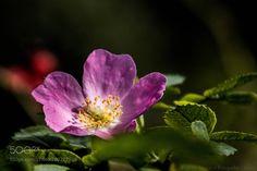 http://ift.tt/2jr6Zkd #Nature_breathtaking #Photos Hibiskus-Blüte vom vergangenen Jahr by HeikoMonson