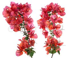 Bougainvillea petals isolated on white background | Stock Photo ...