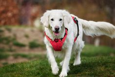 Excess fat is damaging to your dogs health and can in fact reduce their life expectancy. Become your dog's own personal trainer and exercise regularly. Back On Track, Dog Harness, Personal Trainer, Biodegradable Products, Your Dog, Labrador Retriever, Fat, Exercise, Shapes