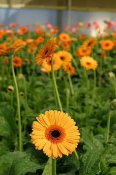 Flowers Tagaytay Flower Farm, My Flower, Flowers, Tagaytay, Garden, Plants, Garten, Lawn And Garden, Gardens