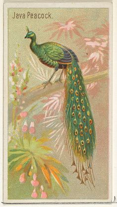 "Believe it or not this gorgeous Java Peacock was created to promote Allen & Ginter Brand Cigarettes. The trade card is 1 of 50 from the ""Birds of the Tropics"" series (N5) issued in 1889."