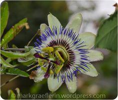 Die Blüte der Passionsblume